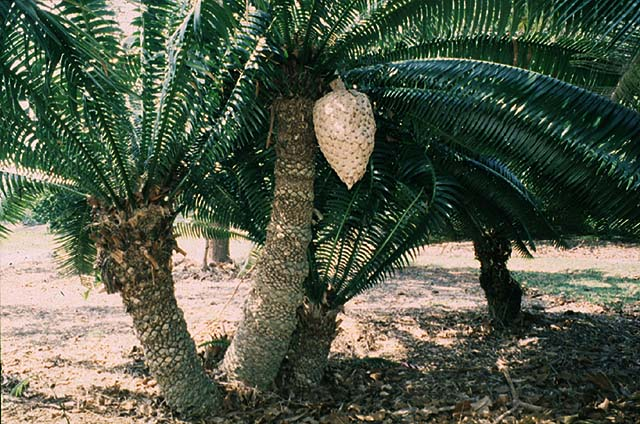 giant dioon   dioon spinulosum