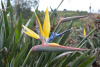 Strelitzia   reginae   'Mandela's Gold' -Yellow Bird of Paradise  -