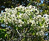 'MAGIC DOGWOOD'- Cornus florida ssp. urbiniana  **RARE**