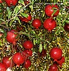 Pomegranate  'Wonderful' -  Punica granatum 'Wonderful'-