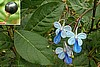 Clerodendrum ugandense -  Blue Butterfly Bush