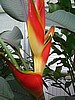 HELICONIA STRICTA  SHARONII   *VERY LIMITED*