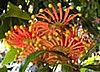 FIRE WHEEL TREE - STENOCARPUS SINUATUS
