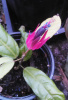 Pavonia multiflora -  Everblooming Brazilian Candle Plant