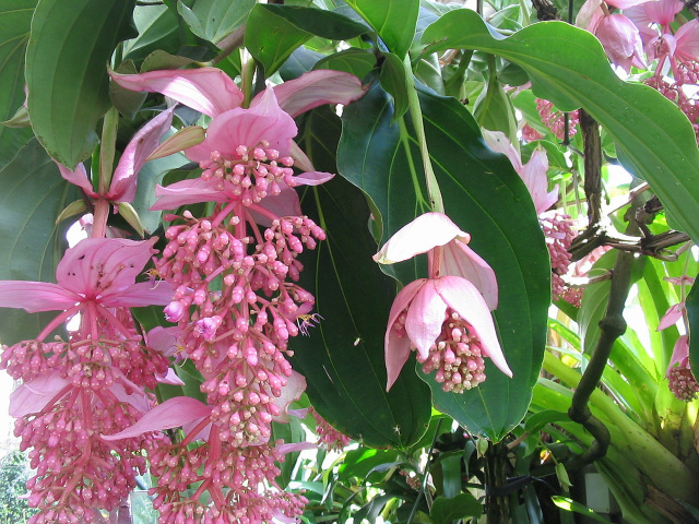 Large Malaysian Orchid- Medinilla magnifica -