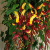 Indian Clock Vine- Thunbergia mysorensis
