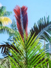 CHAMBEYRONIA MACROCARPA- Flame Thrower Palm