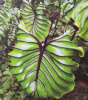 Colocasia Pharaoh's Mask  ** NEW 2020 **